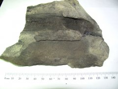 Artisia fossil