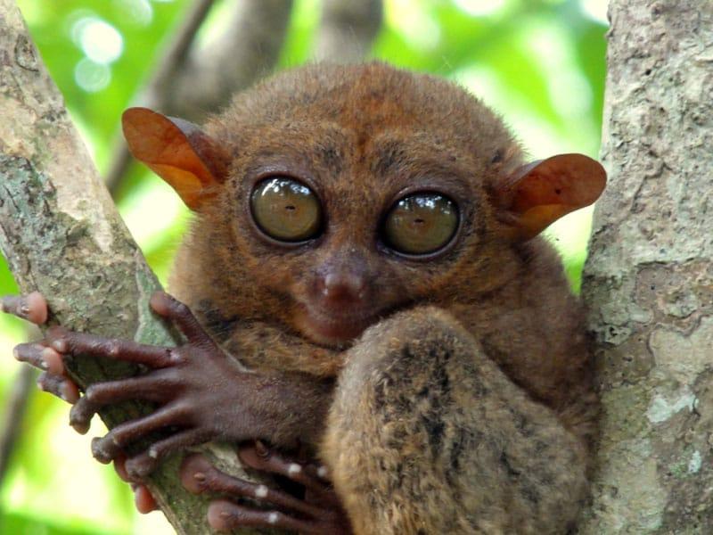 visit-the-philippines-tarsier.jpg.3904b535ae439138c1efa5ebac0d6157.jpg