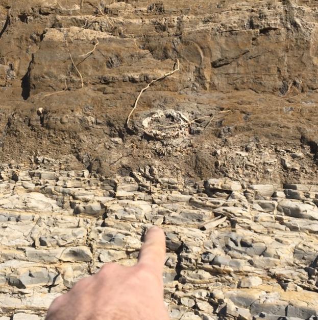 Qsr Mammuthus columbi Tusk 1b 030218.jpg