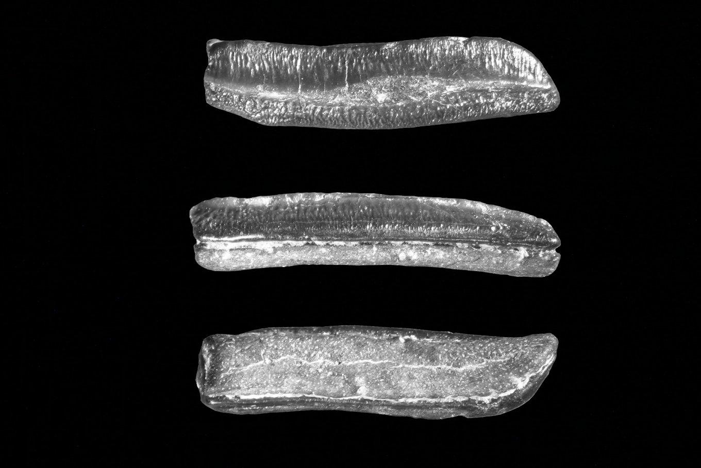 Heterodontus granti posterior.jpg