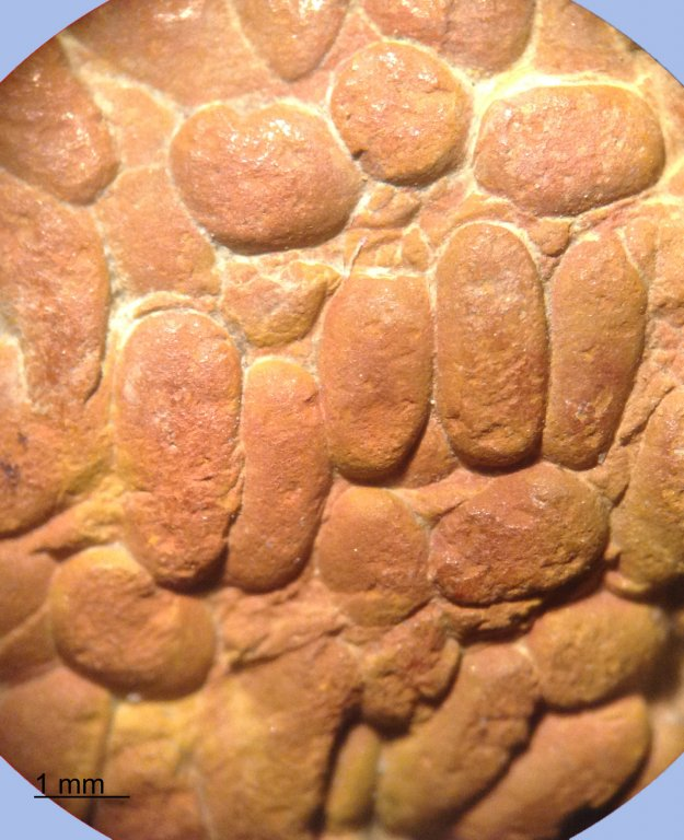 Coprolite-Burrow-Eagle-Ford-Microscopic.jpg