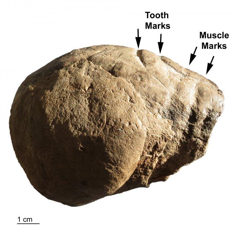 Coprolite-South-Carolina-Feeding-Traces-Muscle-Marks.jpg