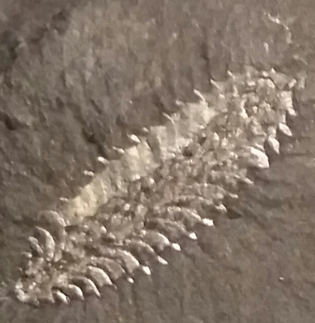 Phyllograptus.jpg.24e9a25ca066e9448a4954dda7efadfe.jpg