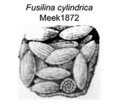 fusilina.jpg.5375d5fe53b35dd03e462dbcfa69ed5c.jpg
