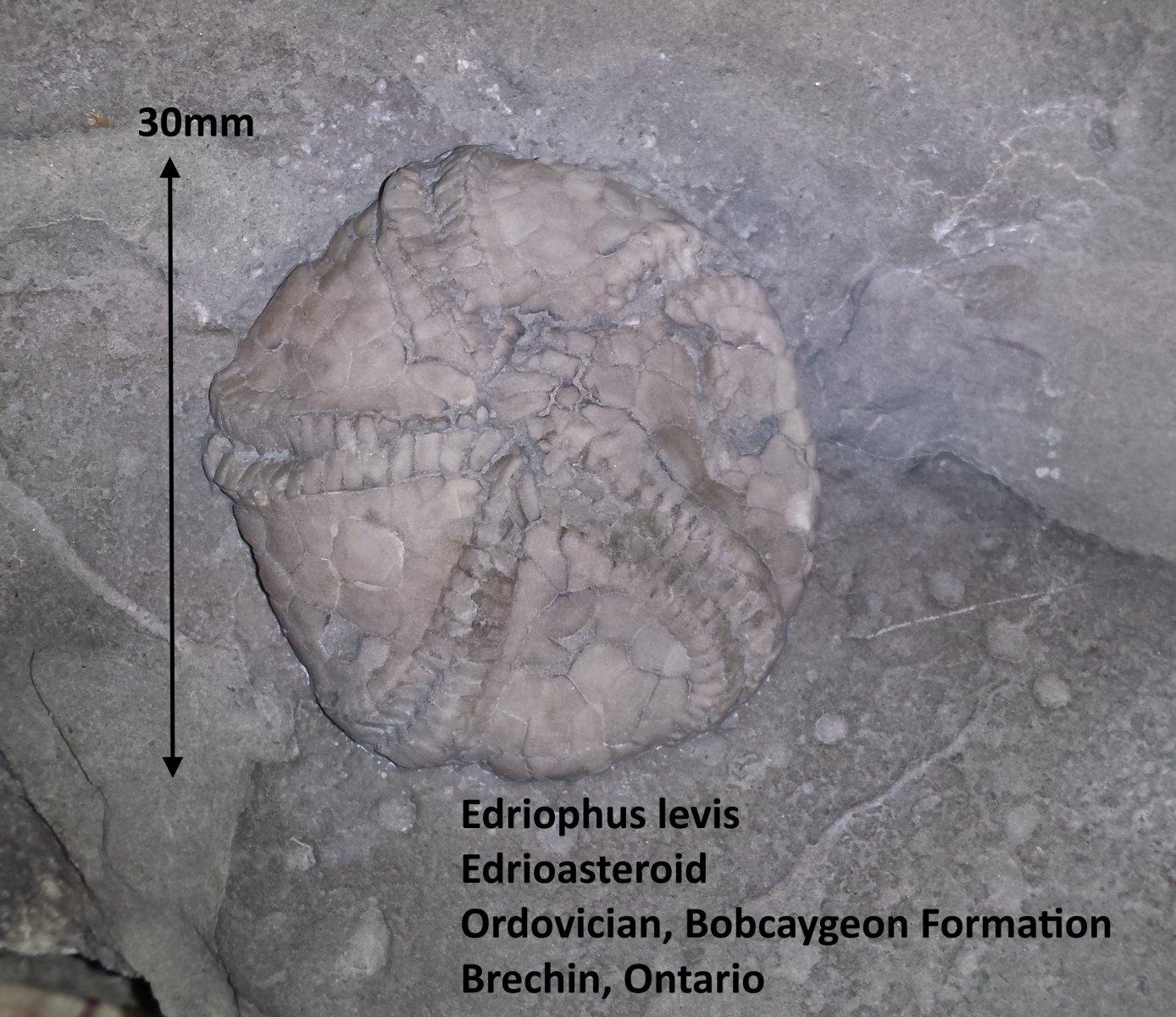 Edriophus levis.jpg