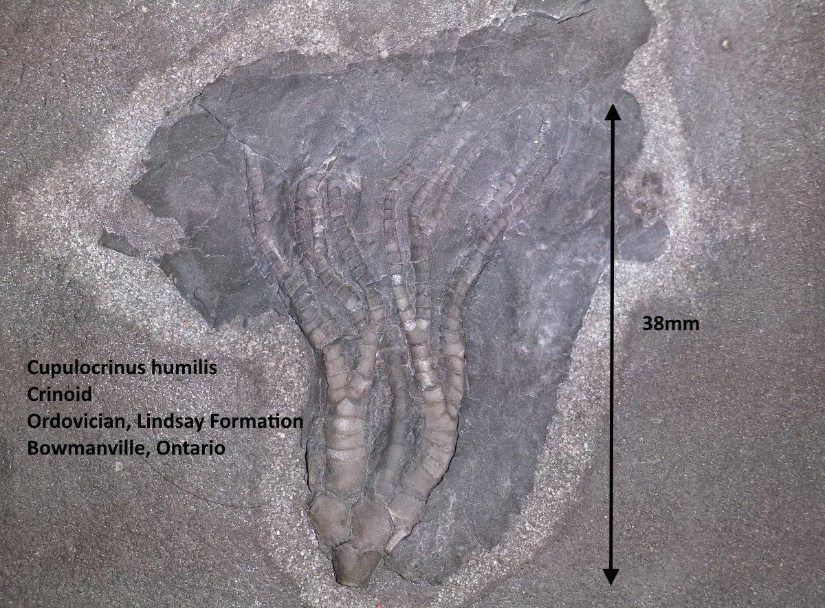 Cupulocrinus humilis.jpg