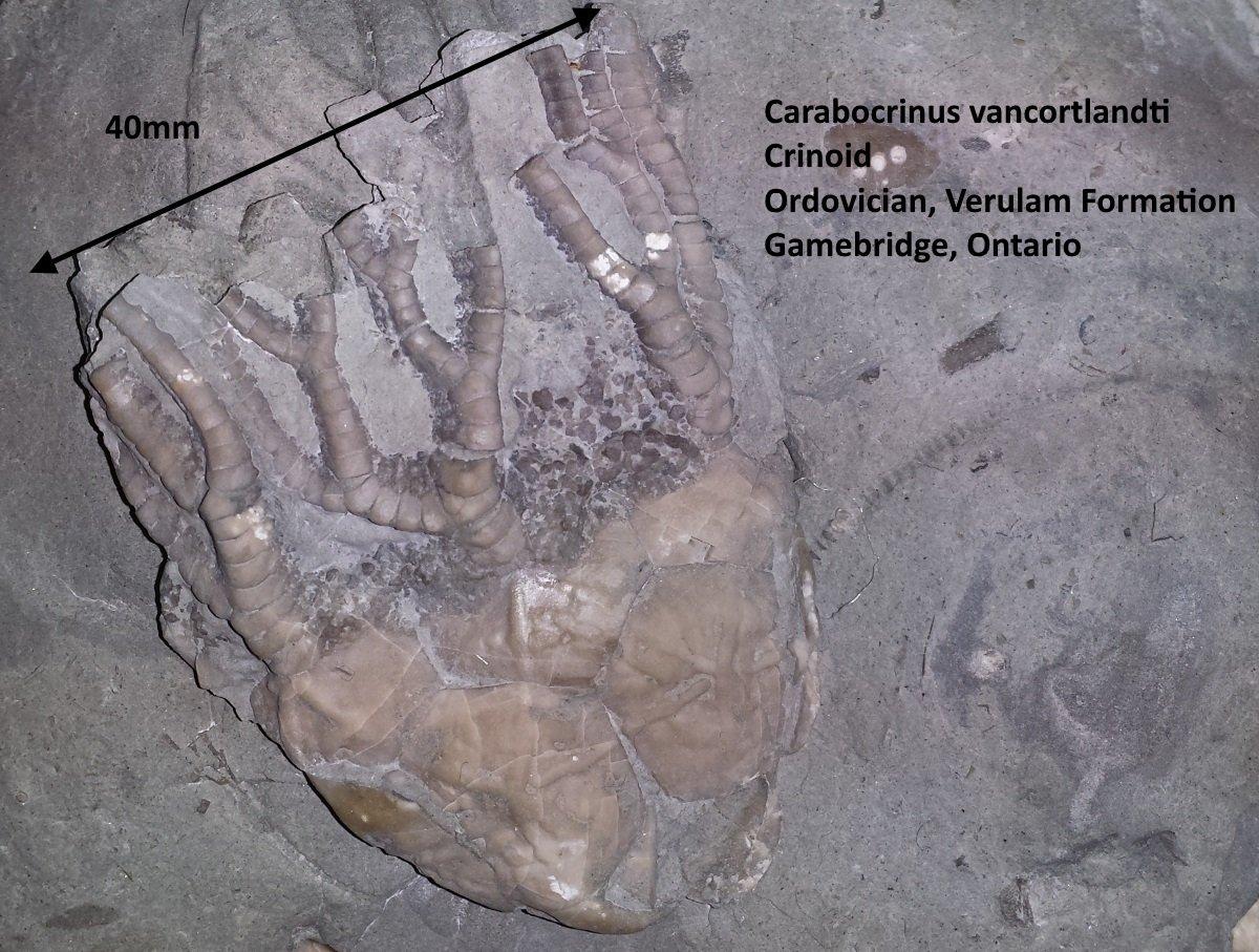 Carabocrinus vancortlandti.jpg