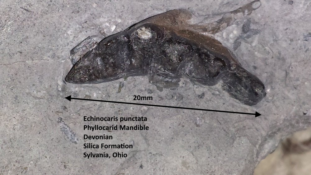 Echinocaris punctata.jpg