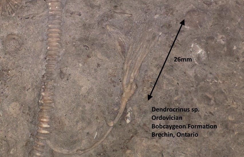 Dendrocrinus.jpg