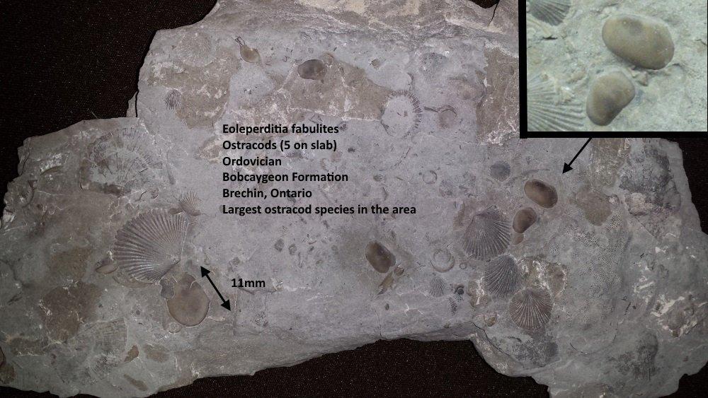 Eoleperditia fabulites.jpg