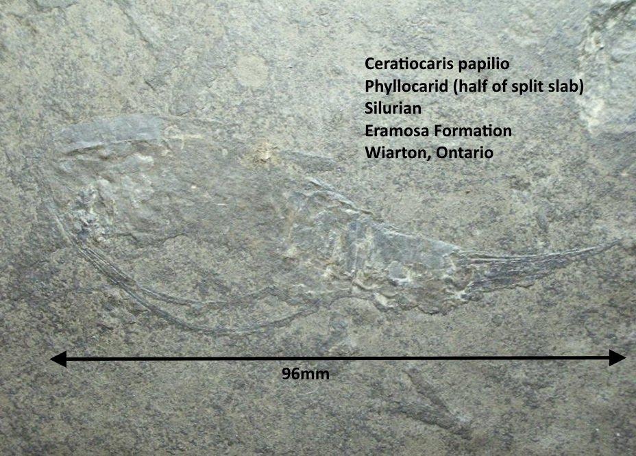 Ceratiocaris papilio.jpg