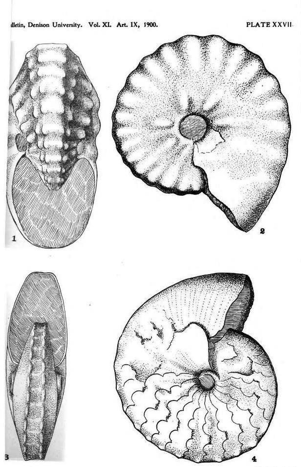 Spathites puercoensis (Herrick & Johnson, 1900)