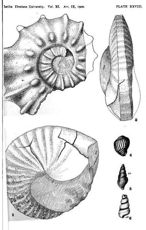 Herrickiceras costatum (Herrick and Johnson, 1900)