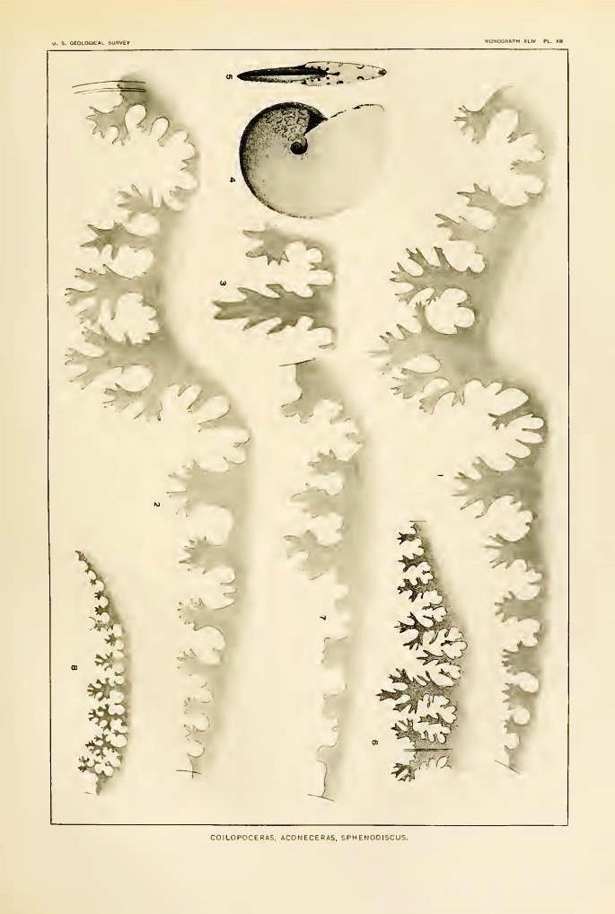Coilopoceras springeri (Hyatt, 1903)