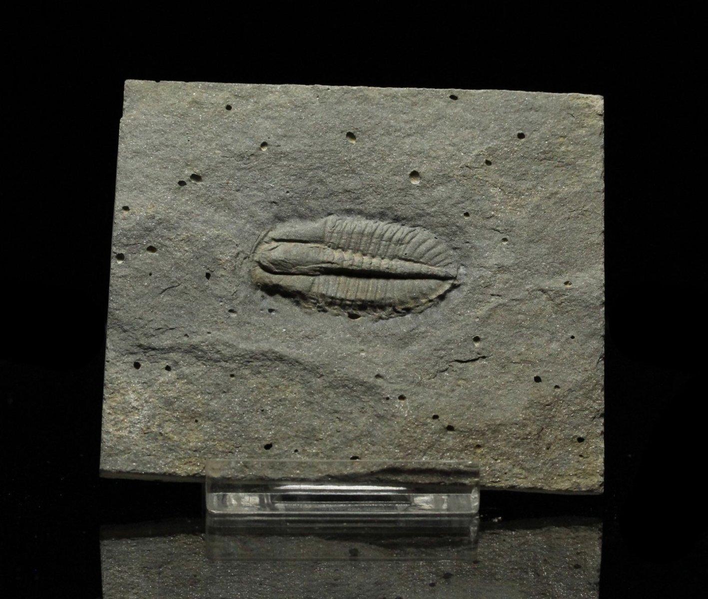 Ogygopis sp. Trilobite