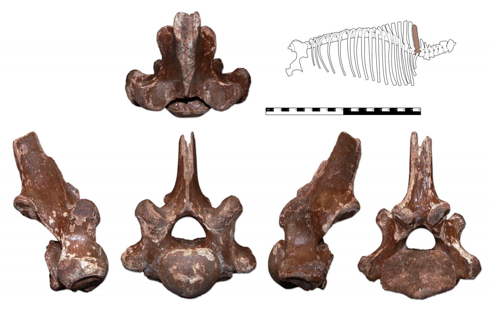 Coelodonta antiquitatis 1st Dorsal Vertabra