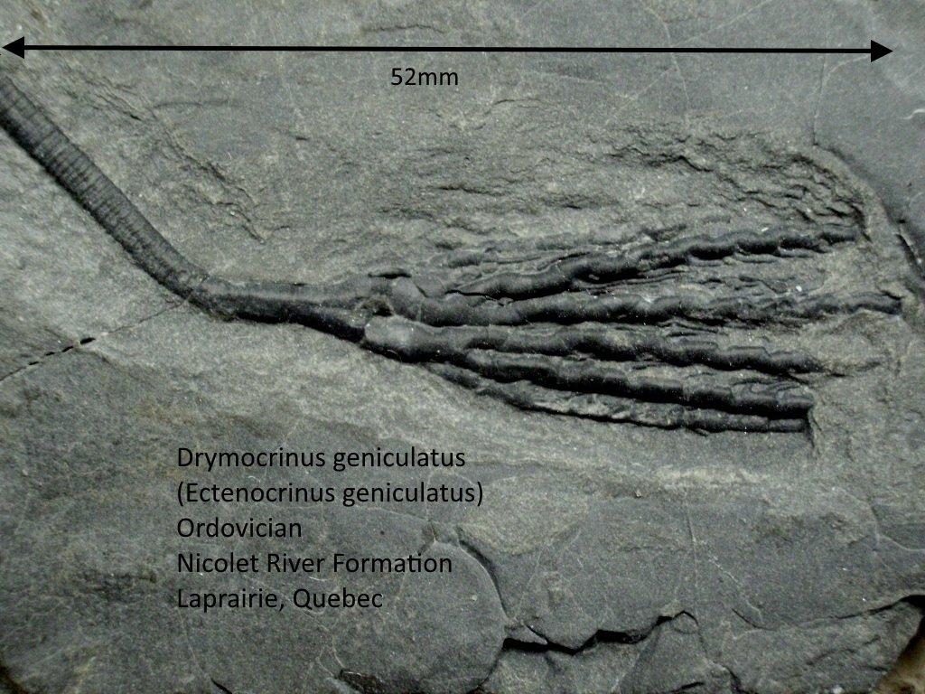 Drymocrinus geniculatus.JPG