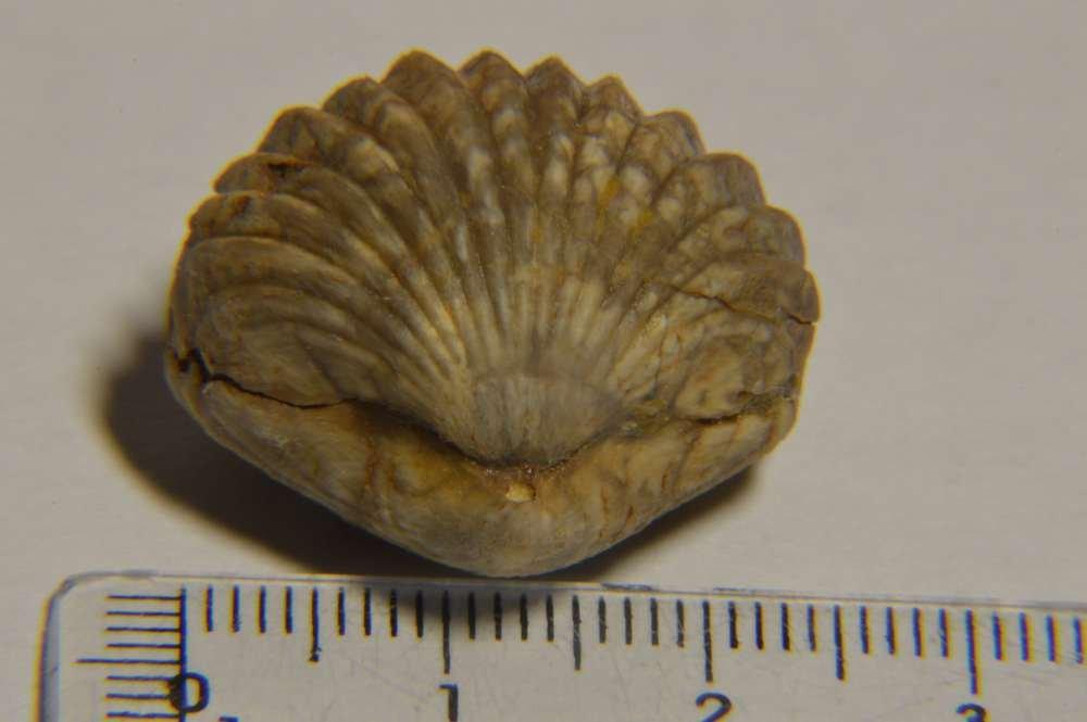 almerarhynchia_virgiliana_1.JPG