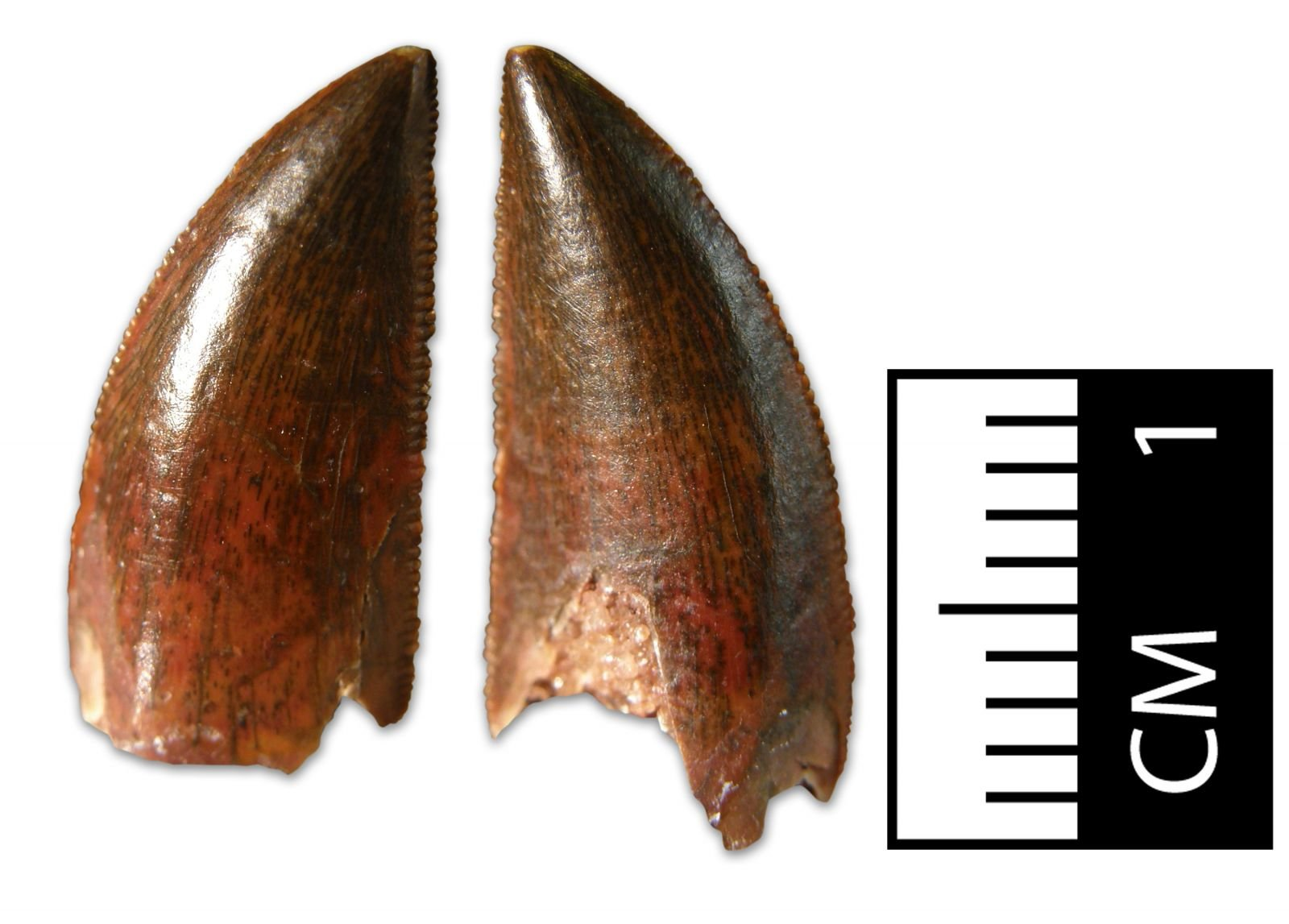 Abelisaurid Tooth