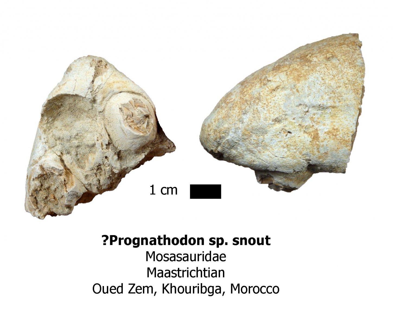 Prognathodon premaxilla