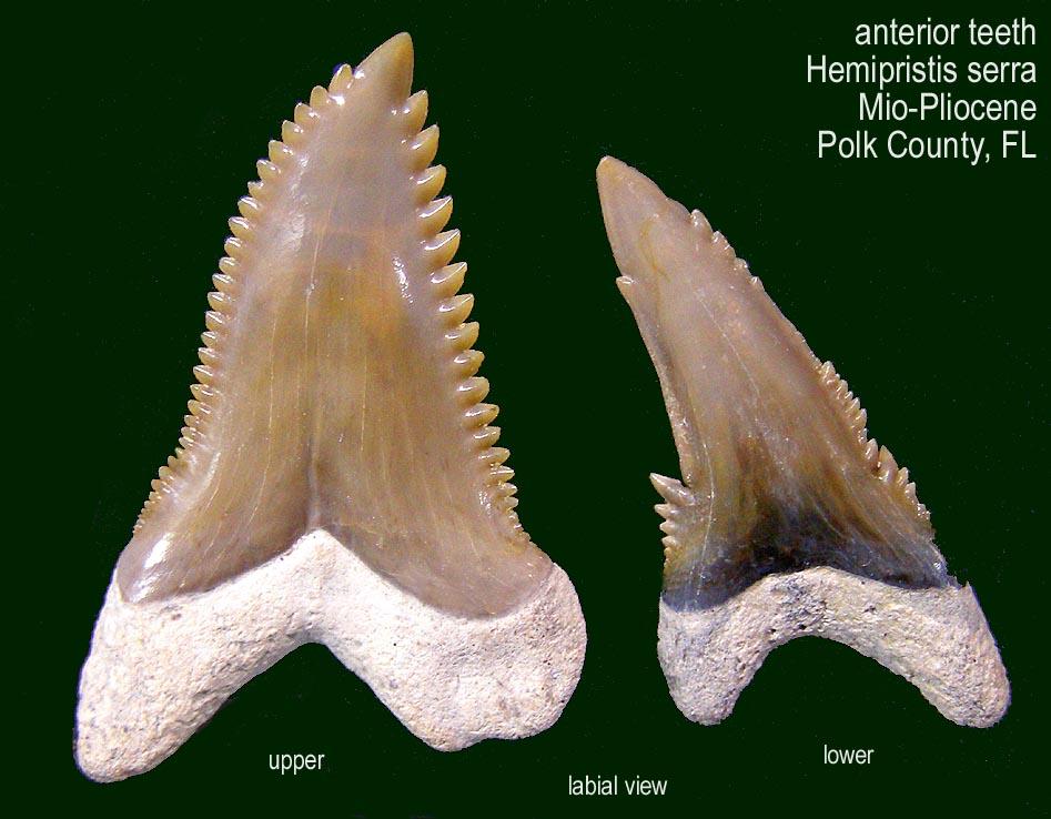 shark_Hemi_pair_labial.JPG