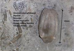 Devonoblastus whiteavesi.jpg