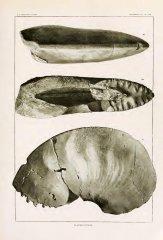 Placenticeras pseudoplacenta (Hyatt, 1903)