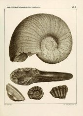 Prionocyclus albinus (Fritsch, 1872)