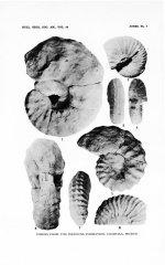 Romaniceras mexicanum (Jones, 1938)