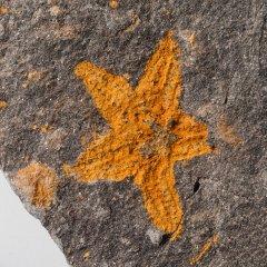 Starfish Fossil Stenaster