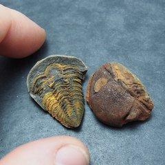Trilobite Vogesina lacunafera