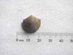 Hesperorthis sulcata 1.jpg