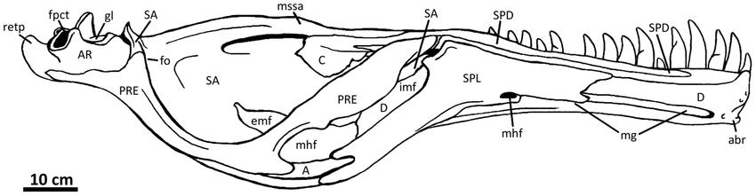Figure-27-Left-mandible-of-Acrocanthosaurus-atokensis-NCSM.png.efa404844975d55ec354600ee717950d.png