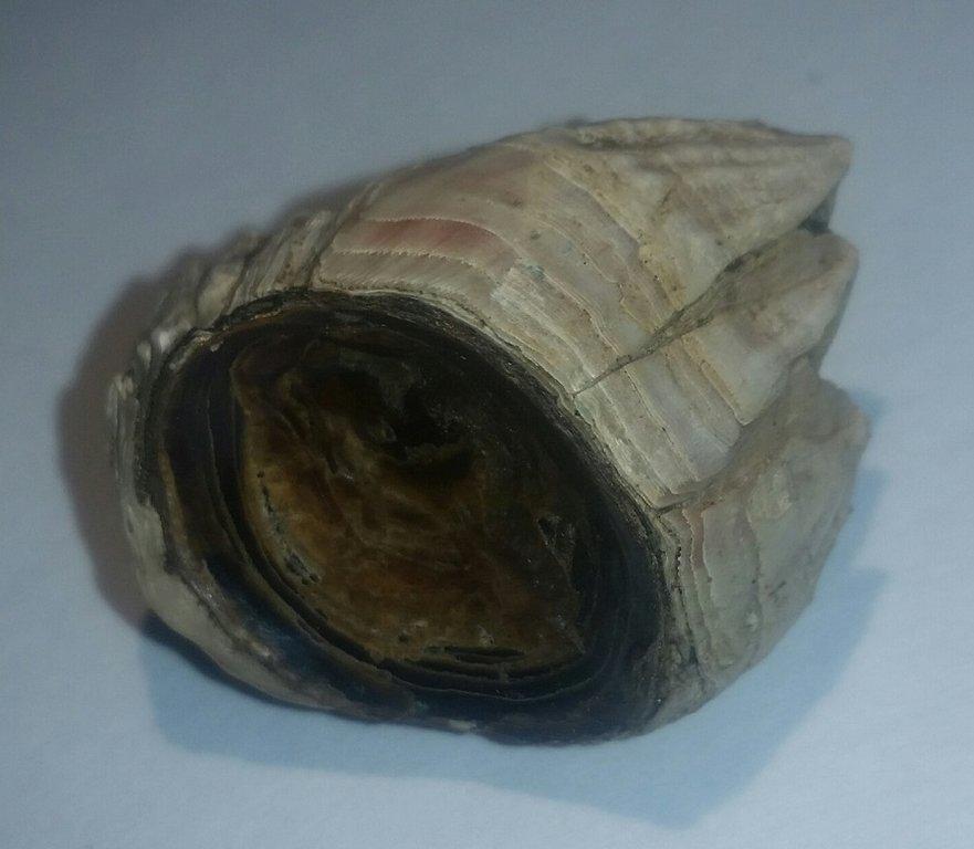 barnacleBrachiopod.jpg