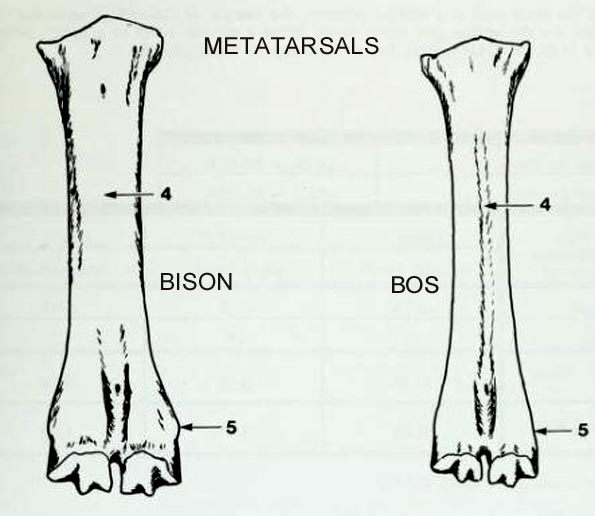 bison_bos_metatarsals_dorsal.JPG