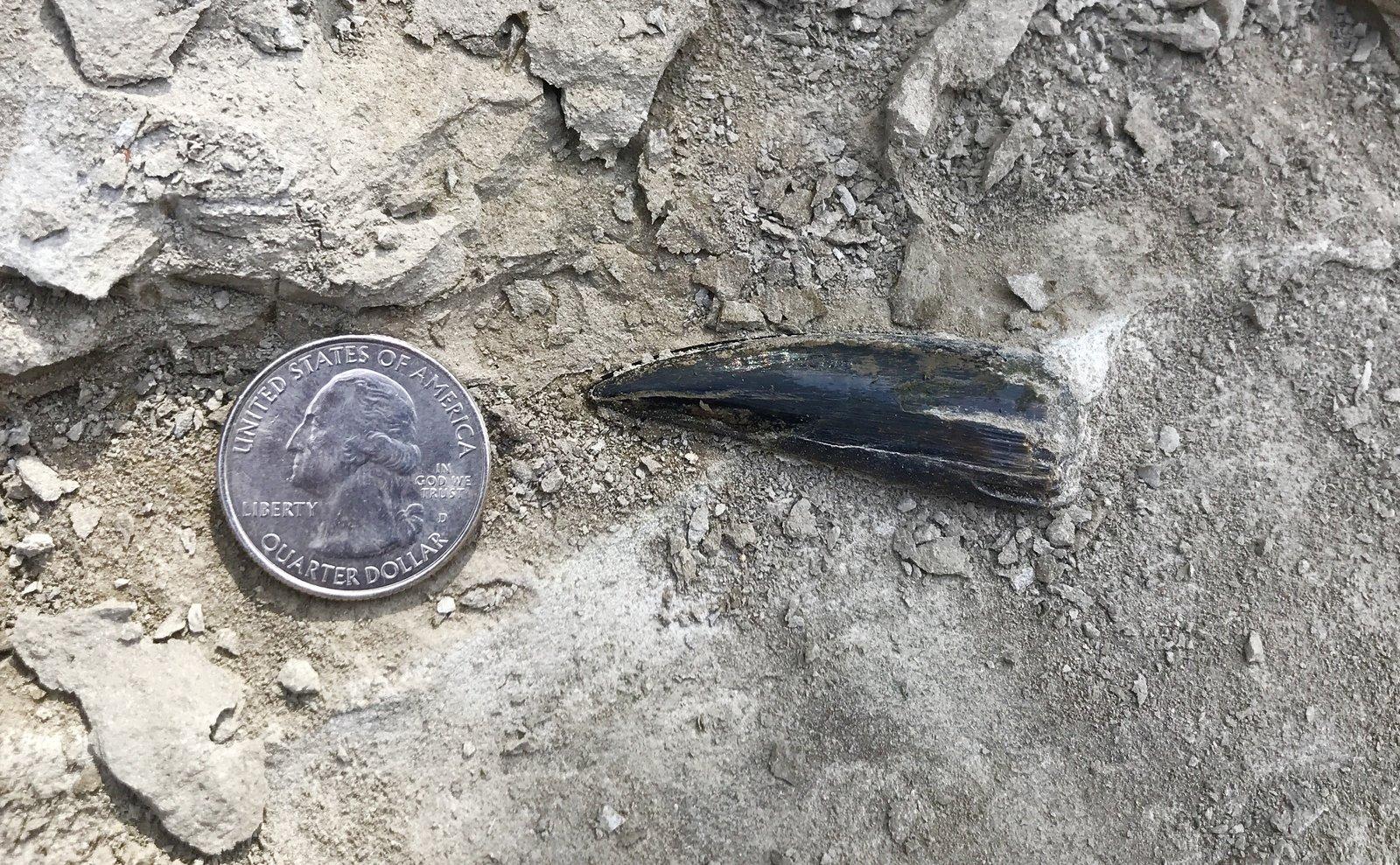 Xiphactinus fish tooth
