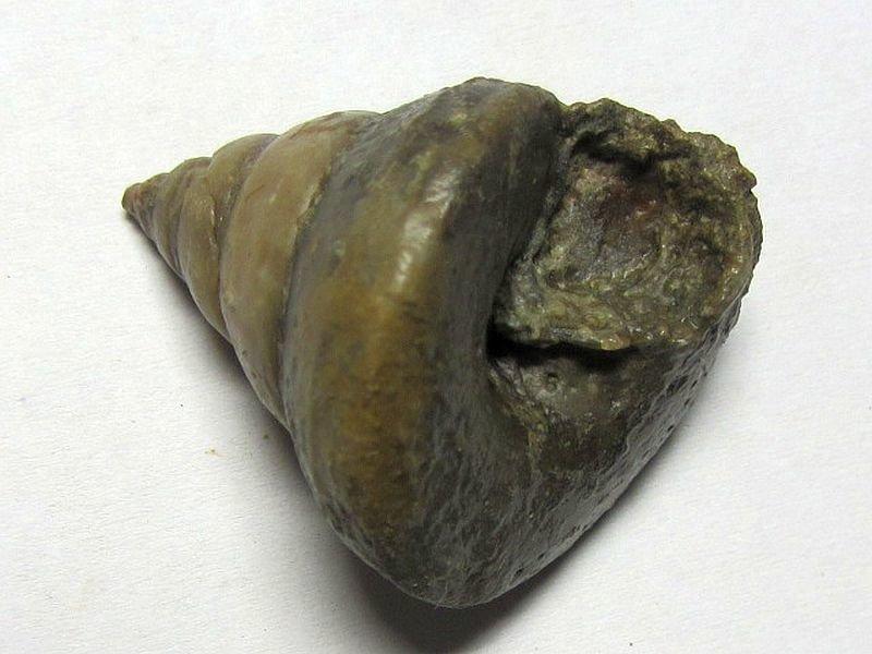 Leptomaria amyntas (D'Orbigny 1850)