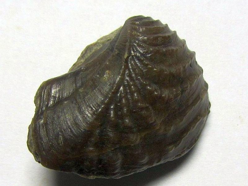 Myophorella cf. formosa (Lycett 1872)