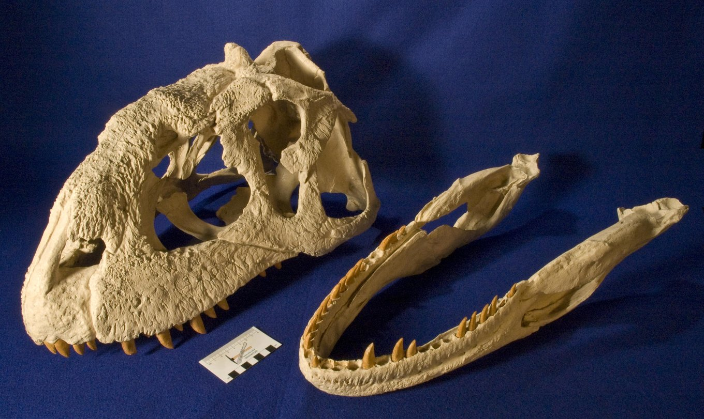 majungasaurus_DSC_9493.thumb.JPG.b3c9b710e42024c1ace707fc8490ea73.JPG