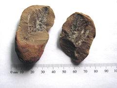 Calamite Cone Fossil B.JPG