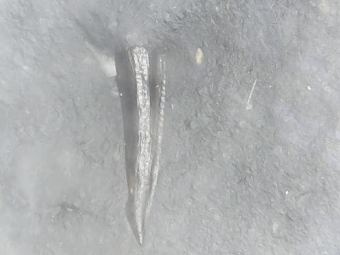 dromaeosaur tooth 1b.jpg
