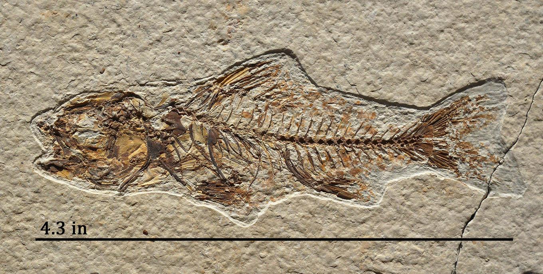 Fish_Amphiplaga-2b.thumb.jpg.f466d990b0449a20cd4214cb058195dd.jpg