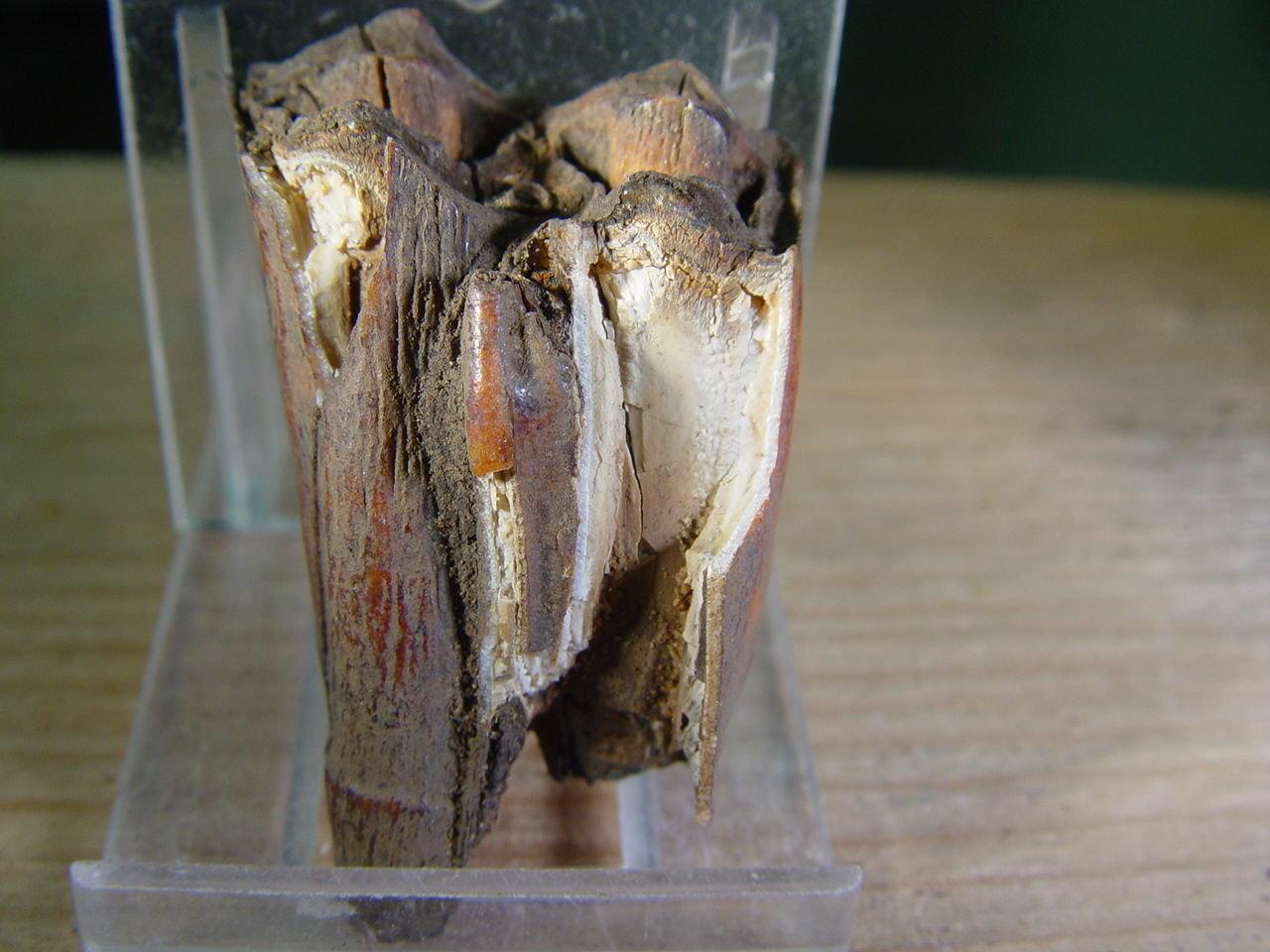 Bison taylori tooth 1.jpg