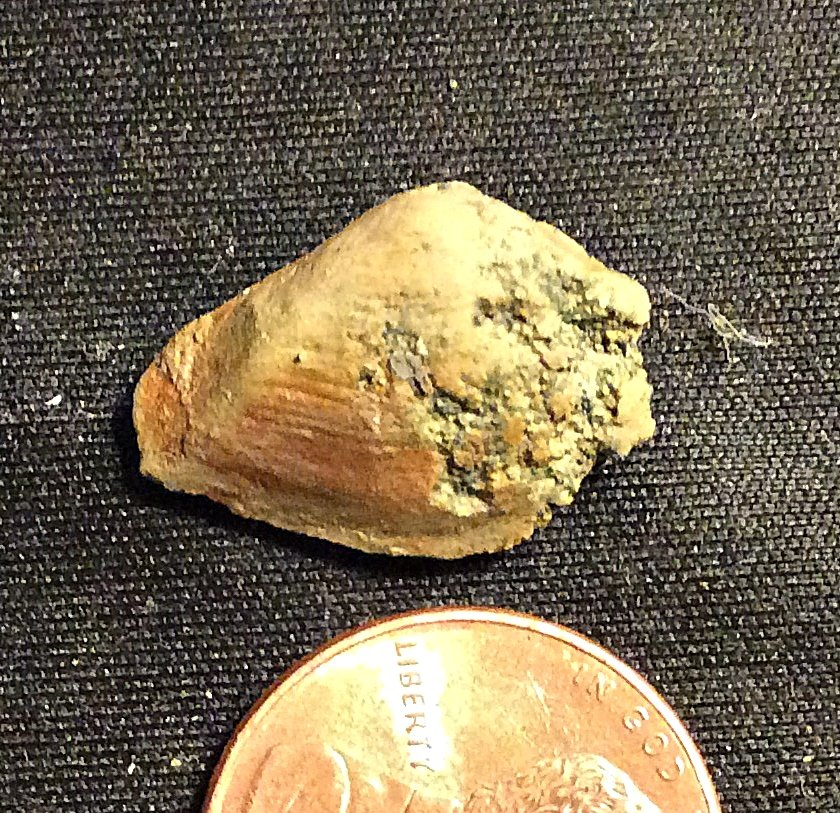 Cast of Bivalve Shell from the Merchantville Formation, N.J.