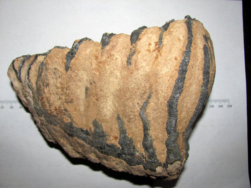 Mammuthus columbi Mammoth tooth 4.JPG