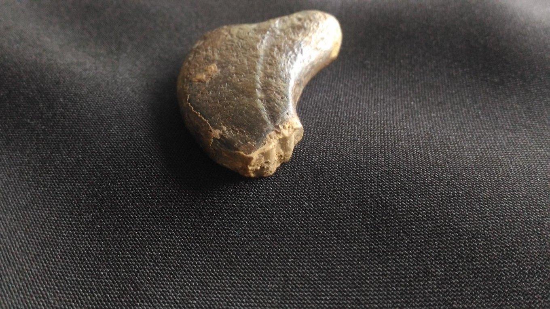 5b308052df19b_TherizinosauroideaDinosauriaTheropodaClawfromBissektyform.UzbekistanSC1eBay(2).thumb.jpg.11b031cdd430505ffca38d733efd1273.jpg