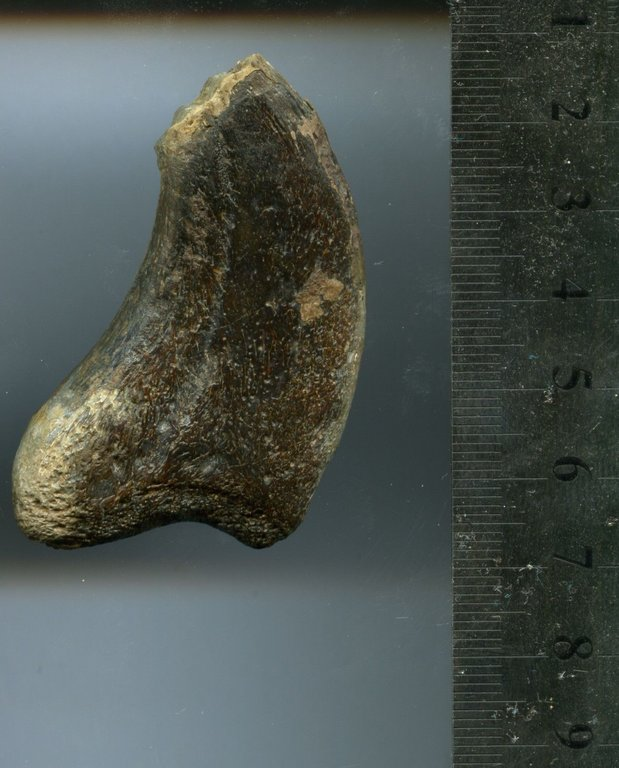 5b30805537566_TherizinosauroideaDinosauriaTheropodaClawfromBissektyform.UzbekistanSC1eBay(3).thumb.jpg.c6f6bc684c4f72b0ea29cbb7012117b1.jpg