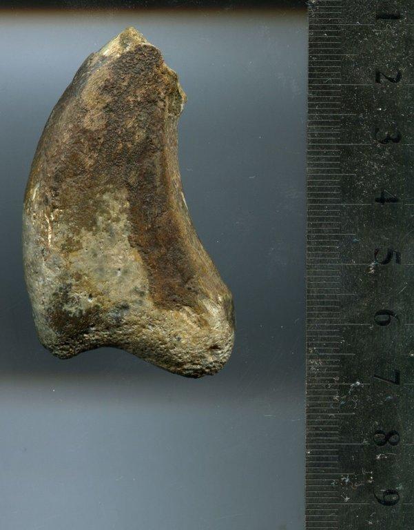 5b3080576253d_TherizinosauroideaDinosauriaTheropodaClawfromBissektyform.UzbekistanSC1eBay(4).thumb.jpg.05fe94d0585cc45ea5b45c786e812938.jpg