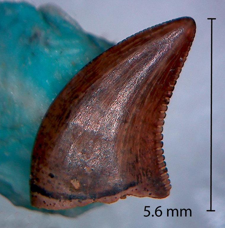 Acheroraptor4b.thumb.jpg.796aaf67d288313d87d402b7aa2ae5d7.jpg