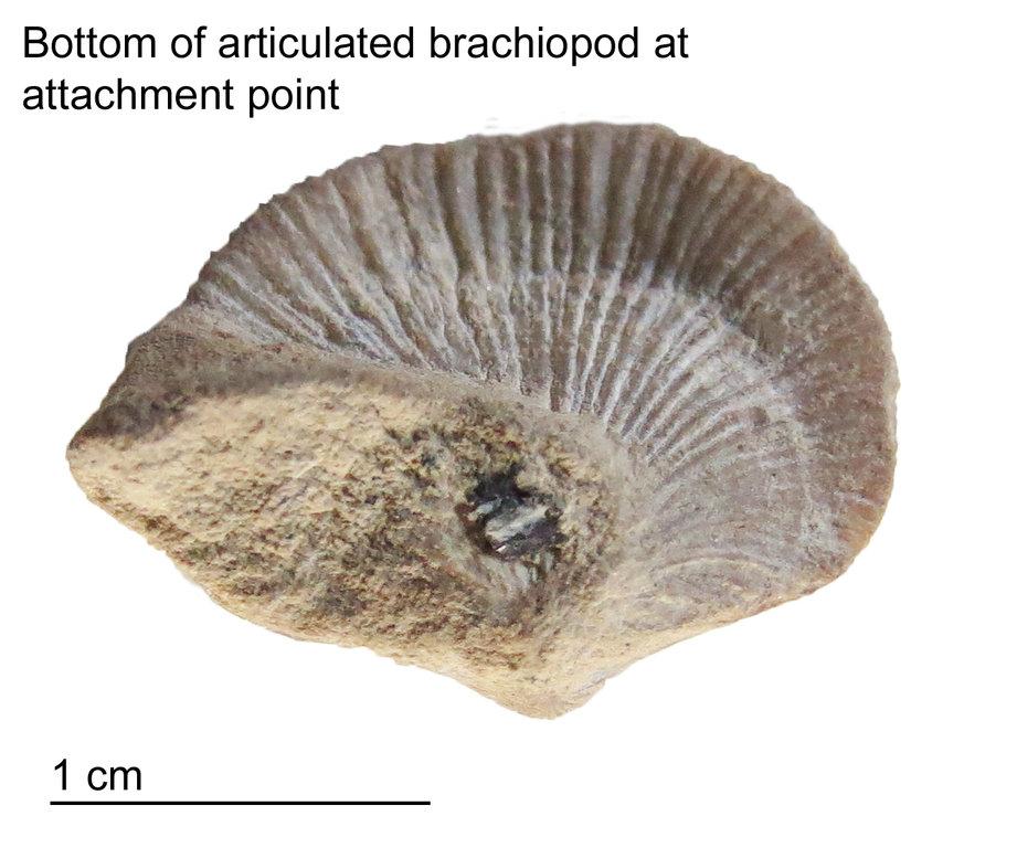 Bottom-Top-Brachiopod.jpg